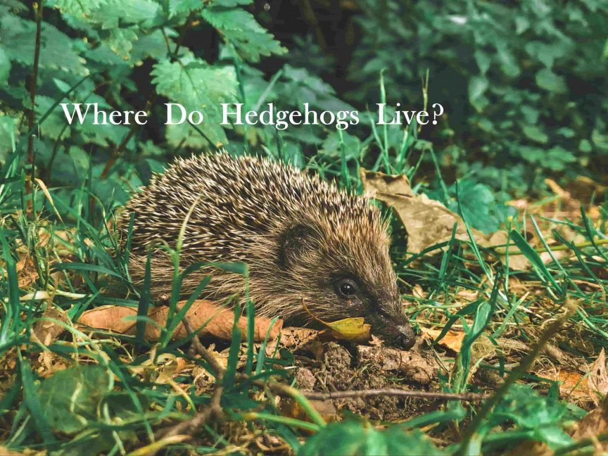 Where Do Hedgehogs Live?