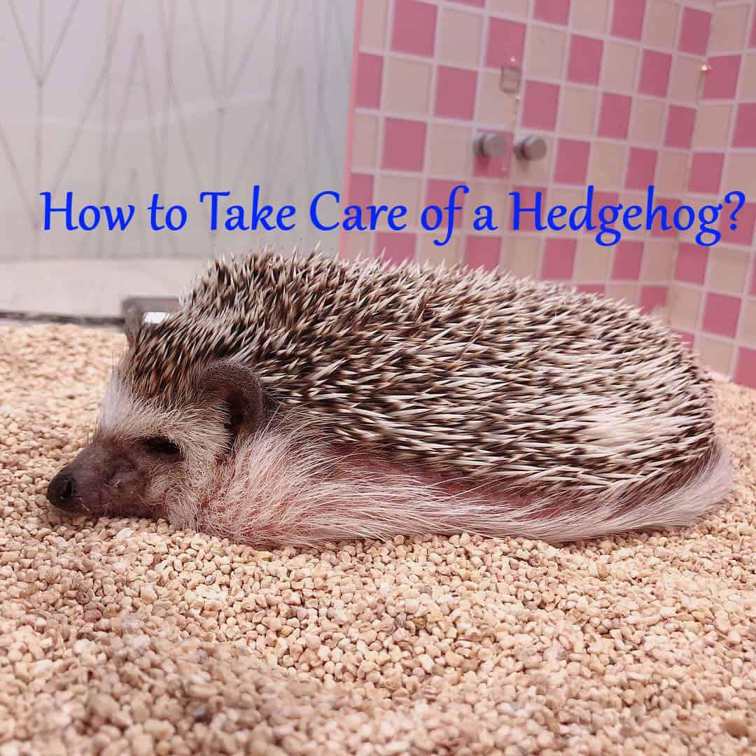 How To Take Care Of A Hedgehog Hedgehog