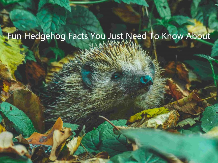 Fun Hedgehog Facts