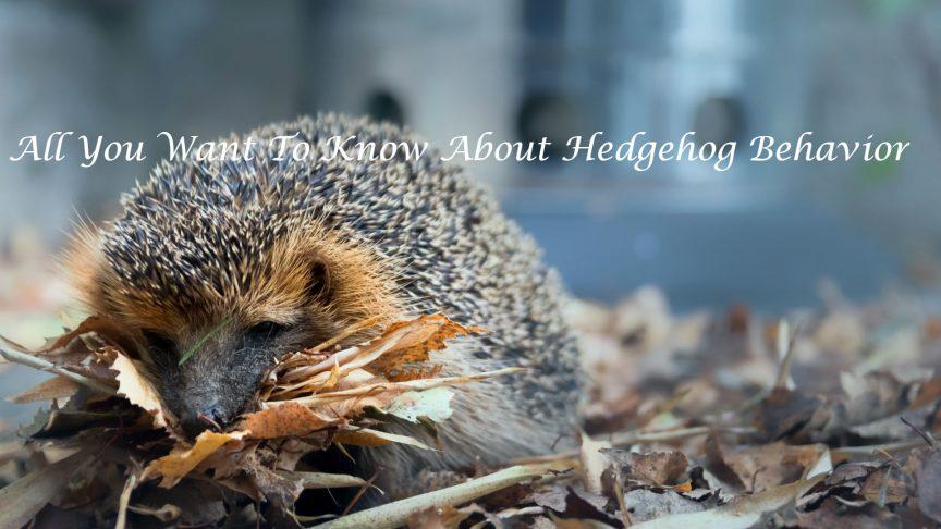 Hedgehog Behavior
