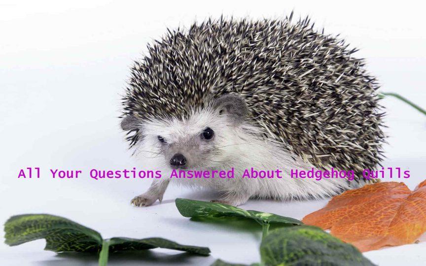 Hedgehog Quills