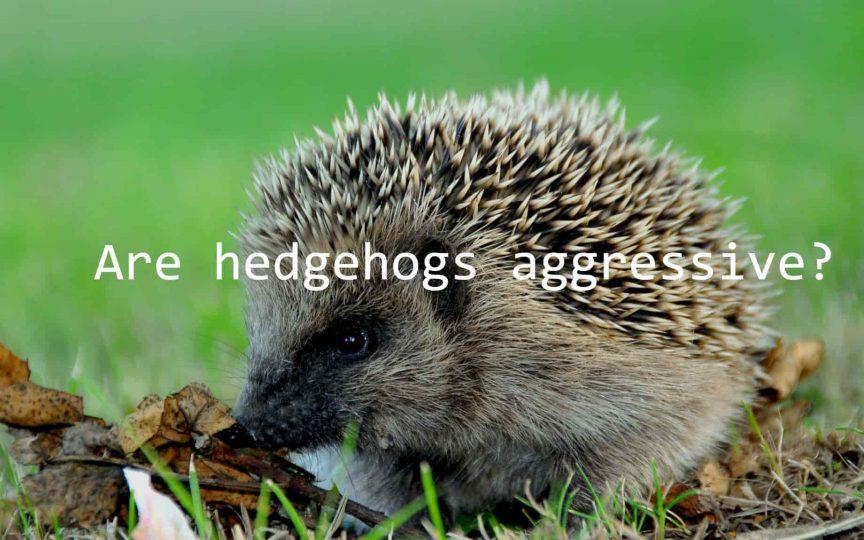 Are hedgehogs aggressive?