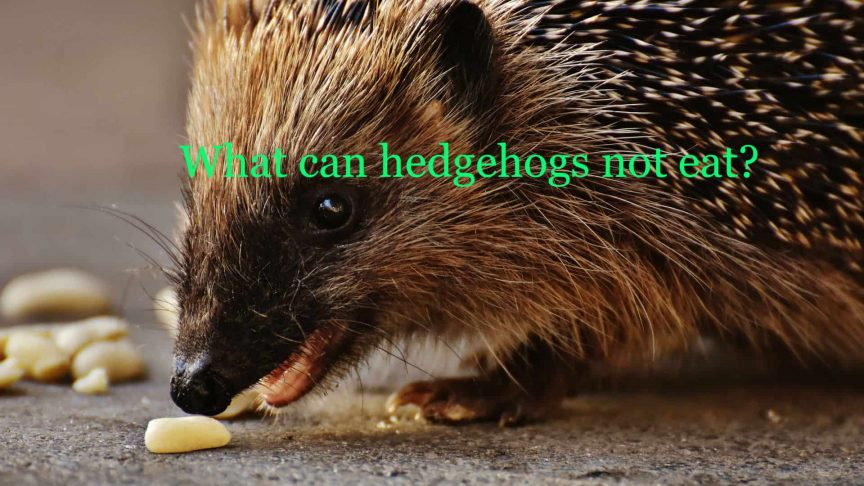 What can hedgehogs not eat?