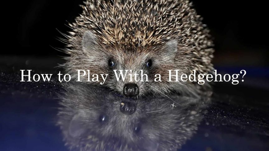 How to Play With a Hedgehog