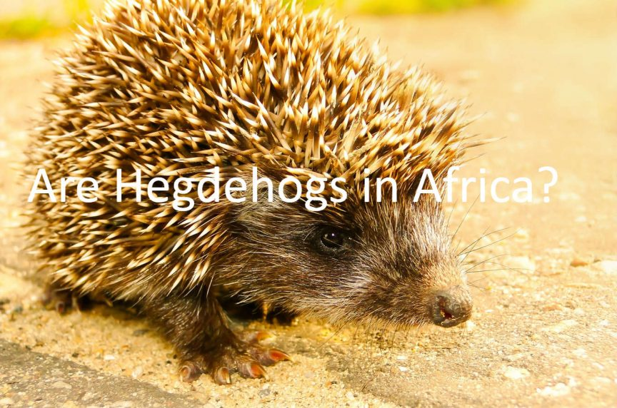 Are Hegdehogs in Africa?
