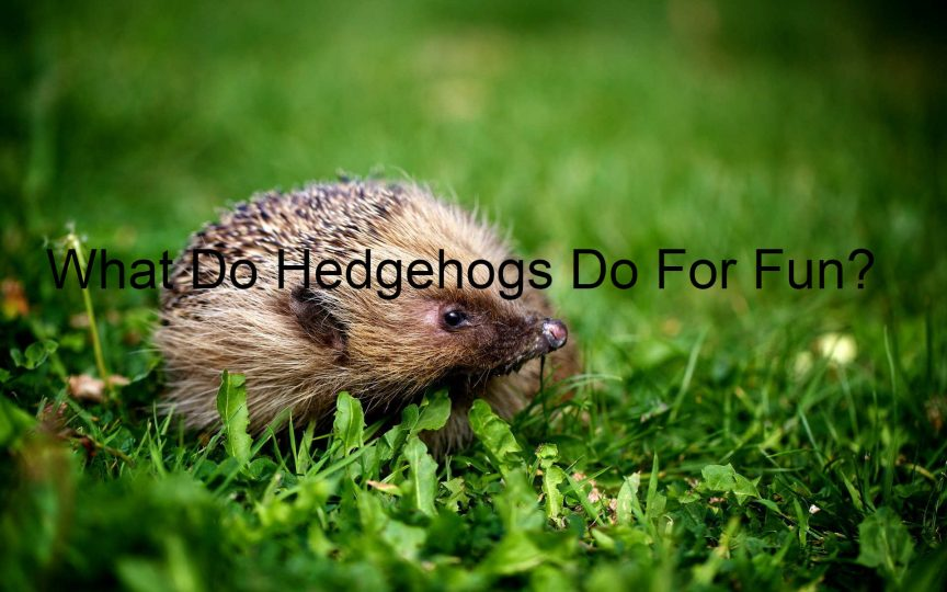 What Do Hedgehogs Do For Fun?