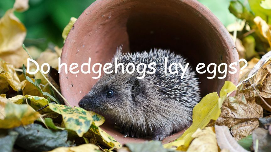 Do Hedgehogs Lay Eggs