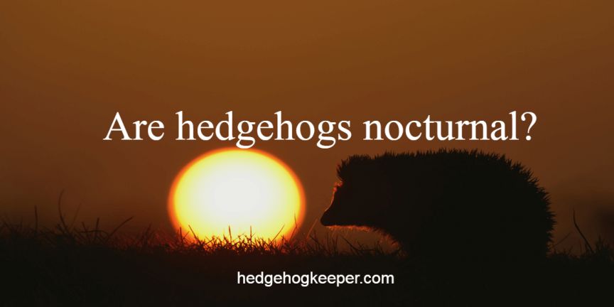 Are hedgehogs nocturnal