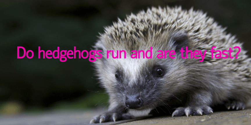 Do hedgehogs run and are they fast