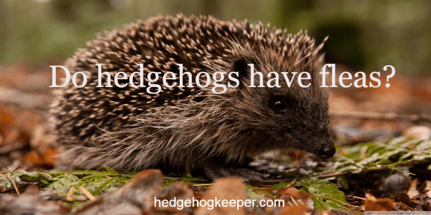 Do hedgehogs have fleas