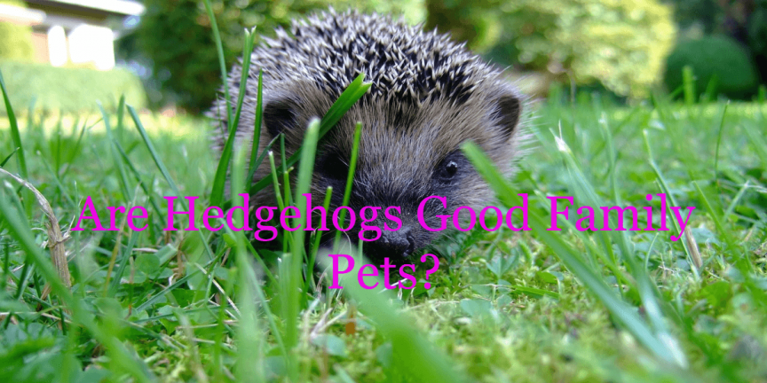 Are Hedgehogs Good Family Pets