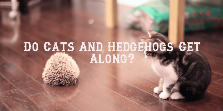 Do Cats And Hedgehogs Get Along