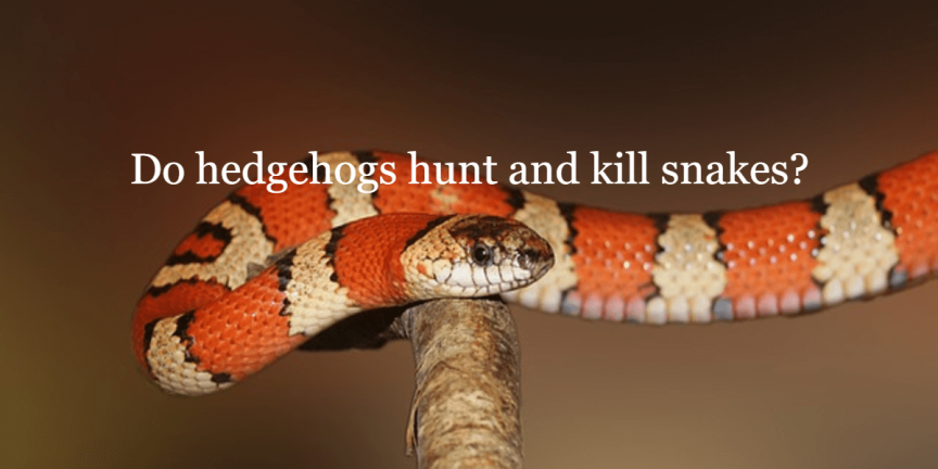 Do hedgehogs hunt and kill snakes