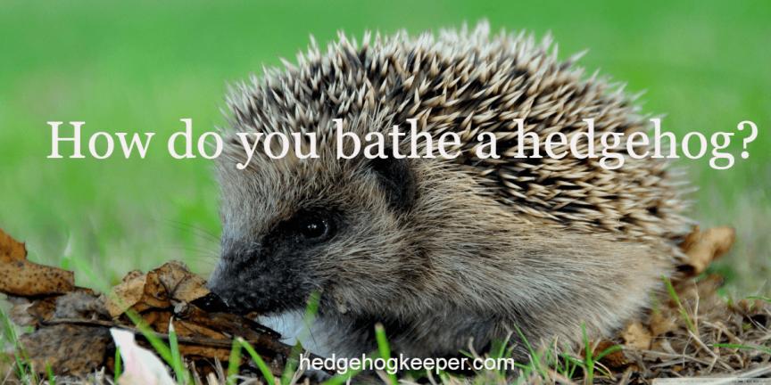 How do you bathe a hedgehog