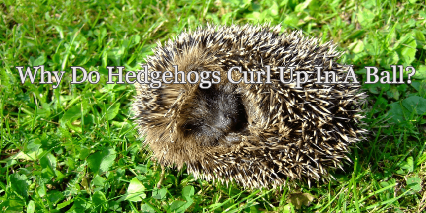 Why Do Hedgehogs Curl Up In A Ball?