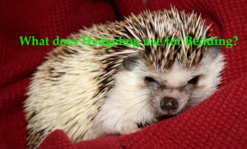 What does Hedgehog use for Bedding?