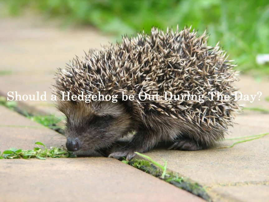 Should a Hedgehog be Out During The Day?