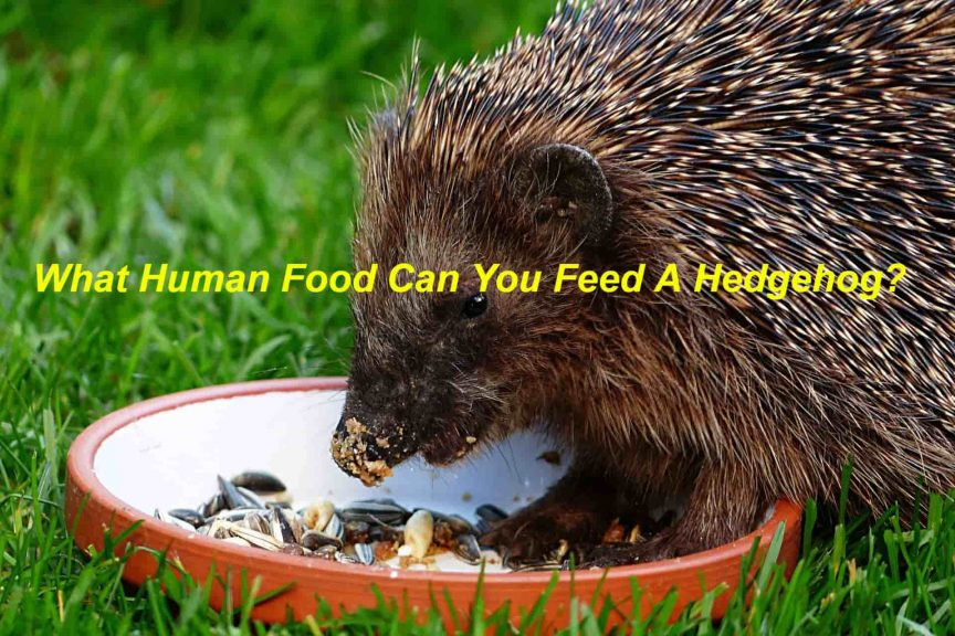 What Human Food Can You Feed A Hedgehog
